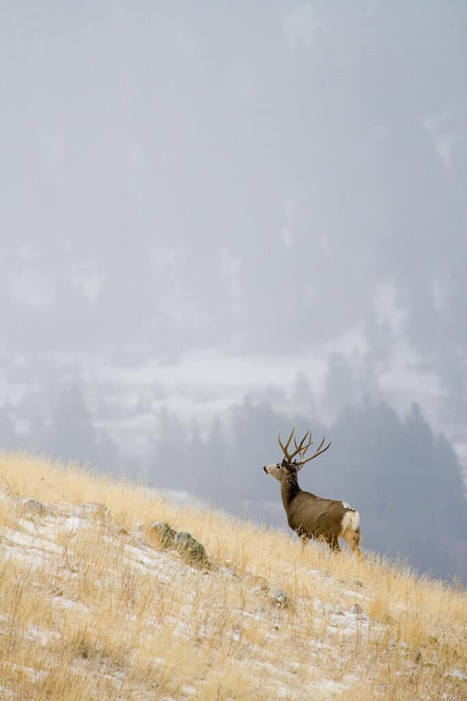 A deer stands on a hillside looking into the distance
