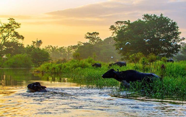 Birds and bulls enter a tropical river