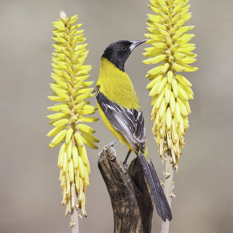 An Audubon's Oriole poses for its portrait on a perch between two aloe blossom stalks.