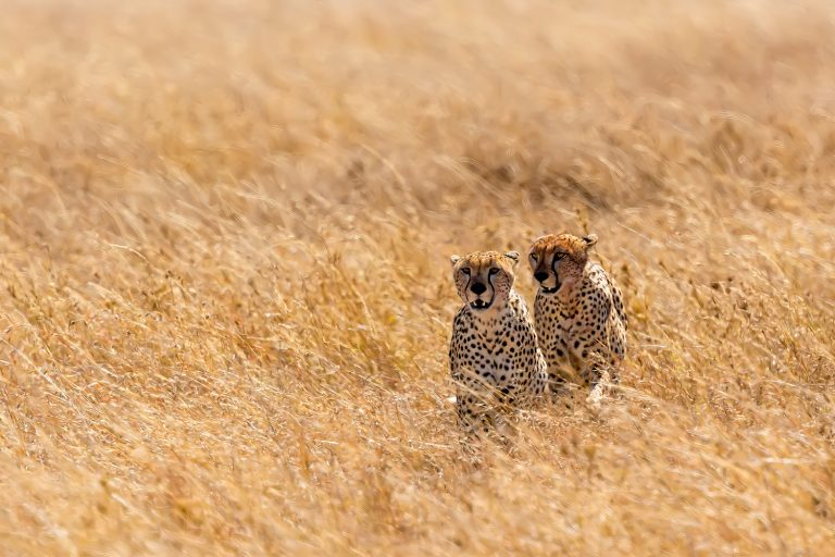 Two cheetahs sit in the grass