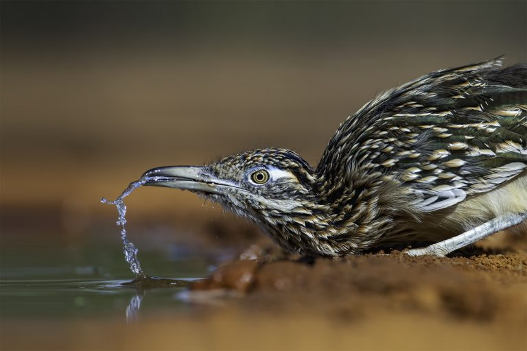 A Greater Roadrunner drinks from a ranch water hole and spews water from its beak.