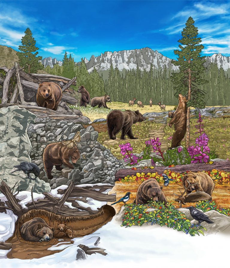 Illustration showing a grizzly bear doing various daily activities