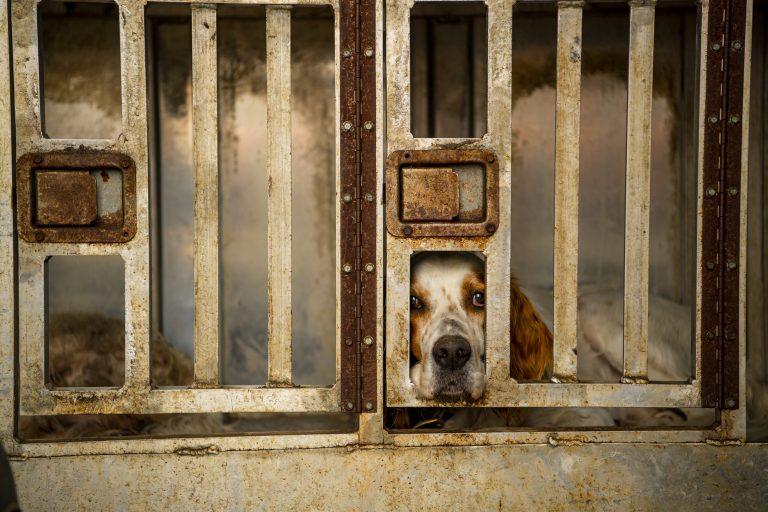 A dog sticks its snout through an old gate