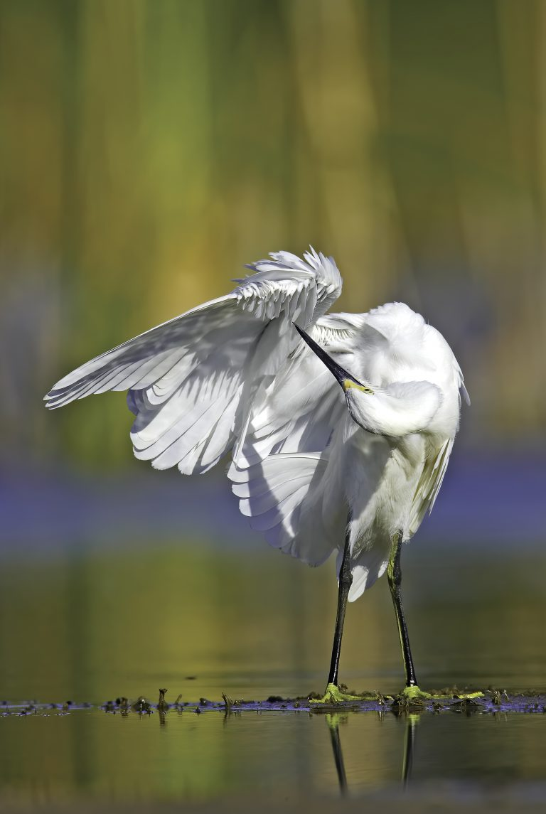 A Snowy Egret provides a pleasant scene for the photographer as it preens its feathers on a little slip of mud in the ranch pond.